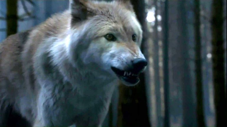 summer-game-of-thrones-direwolves-34317098-954-536